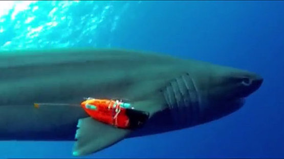 Scientists get a shark's eye view using wearable computers